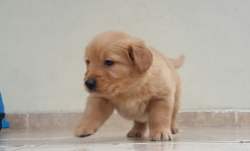 satilik-golden-retriever-yavrulari-0001