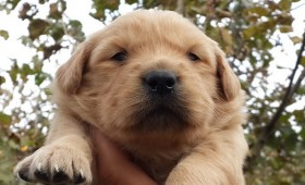 satilik-golden-retriever-yavrulari-0004