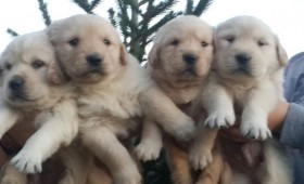 satilik-golden-retriever-yavrulari-0005