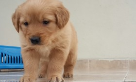 satilik-golden-retriever-yavrulari-0011