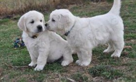 yavru-golden-retriever029