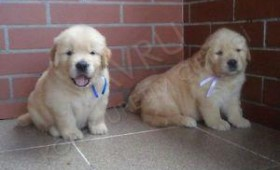 yavru-golden-retriever030